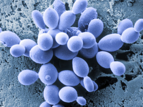 Yeast Cells Under Electron Microscope