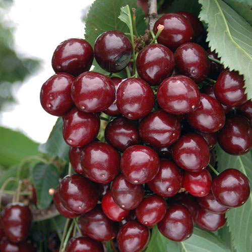 European Morello Cherries