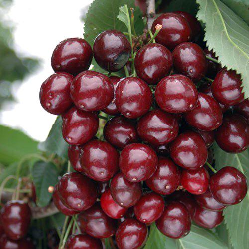European Morello Cherries
